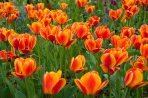 Tulipes-300x199.jpg